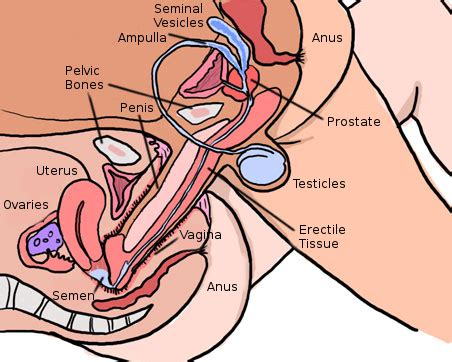The vagina vulva female anatomy pictures, parts png 452x362