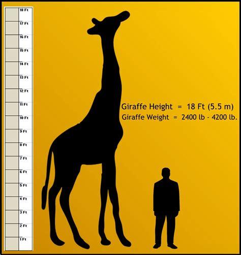 Giraffe height chart safari, safari height chart, safari jpg 1059x1122